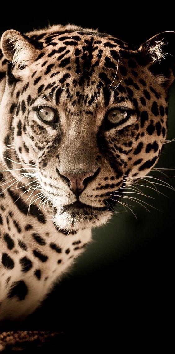 A leopard portrait. #Animals #BigCats #Leopard