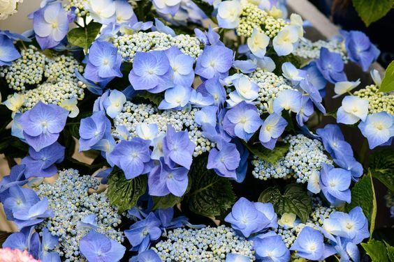 Blaue Hortensie als Hingucker #pflanzenfreude