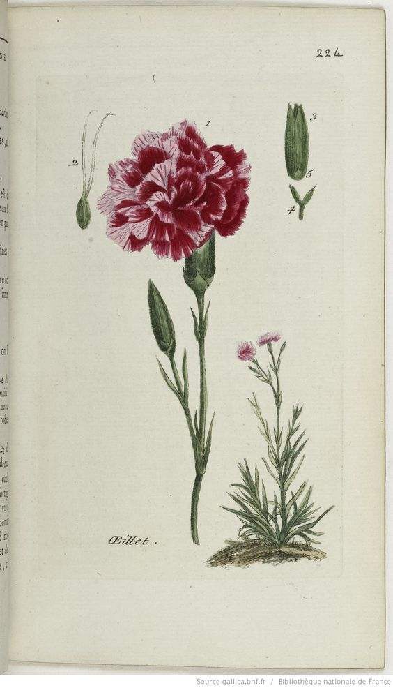 DIANTHUS - Dianthus caryophyllus, coronarius. L'œillet double / L'œillet des dames / L'œillet piqueté ou panaché
