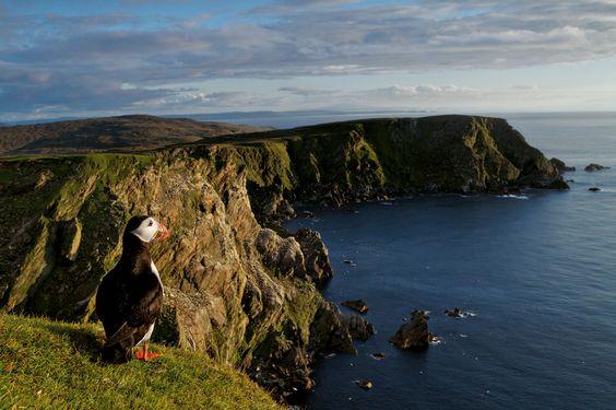D'avril à mai, sans qu'on sache d'où ils surgissent, près de 2 millions de macareux moines s'abattent comme un tourbillon sur les côtes déchiquetées d'Écosse, du pays de Galles, d'Irlande - National Geographic France