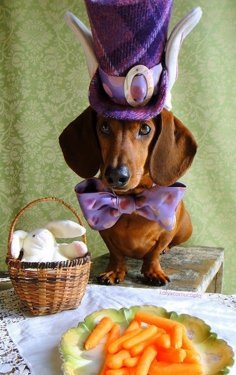 Mad Hatter/I'm not one to dress animals in clothes but I would like to have tea with this Hatter. #dachshund