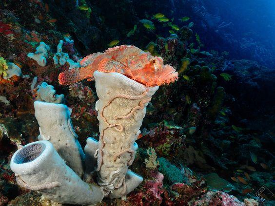 Scorpaenopsis oxycephala Tassled #scorpionfish  #Pescador Island, #Philippines