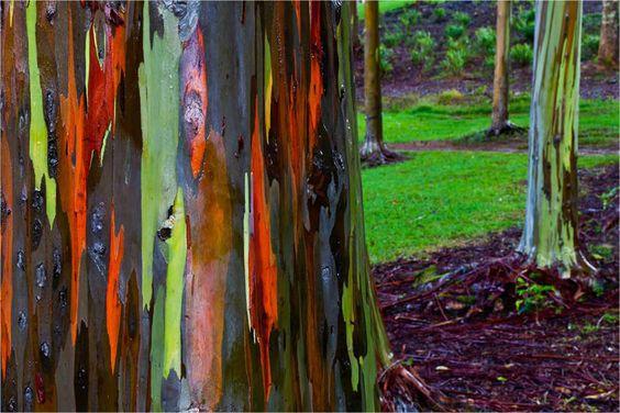 Eucalipto arcoiris en Hawaii.