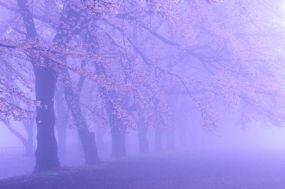 Row of cherry blossom trees in the fog by makoto mizuki on 500px