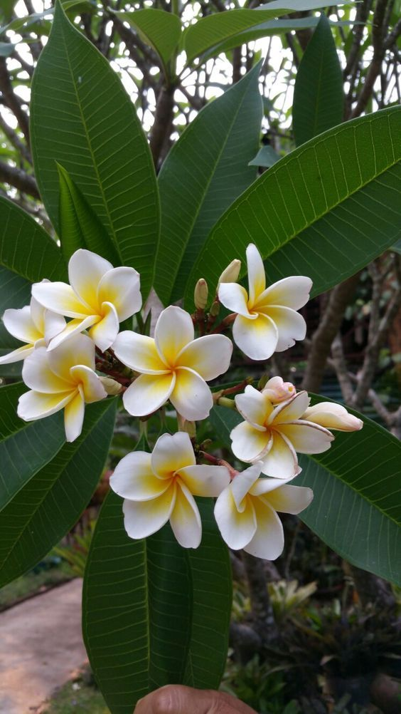 All White Flowers Are Beautiful And With Meanings Of Their Own So Which Do You Prefer Beautiful Flowers Beautiful Flowers Plumeria Flowers Types Of Flowers