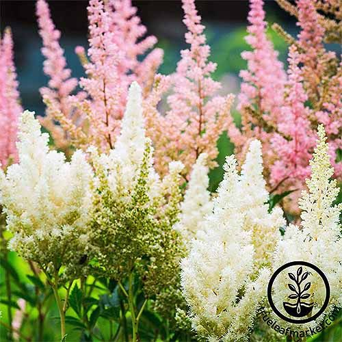 How To Grow Astilbe For Color In The Shade Garden Gardener S Path In 2020 Easiest Flowers To Grow Astilbe Flower Flower Seeds