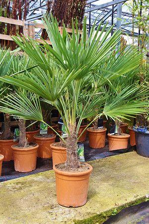 Hanfpalme Fortunei Winterhart 20 30 Stamm Palmen Pflanzen Palmen Garten Hanfpalme