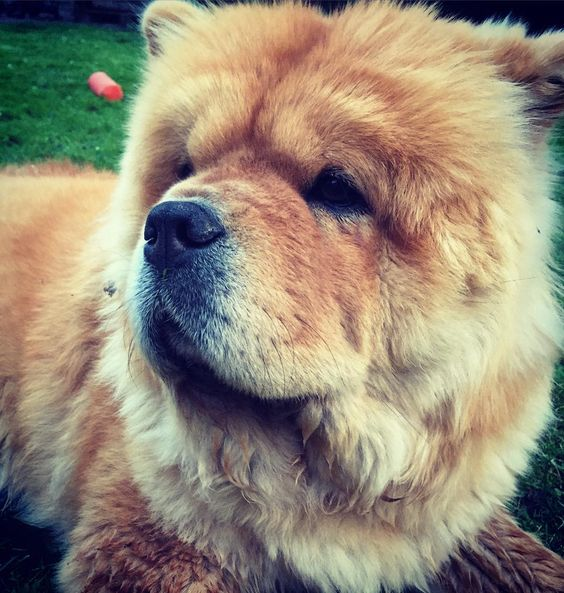 #chowchow #chowlife #animalsaddict #adorimals #cuteanimals #cutepetclub #dogsofinstagram #dogs_of_world_ #fluffy #lacyandpaws #lion #bear #mydogiscutest #doglover #dogs_of_world by chow_chow_moos