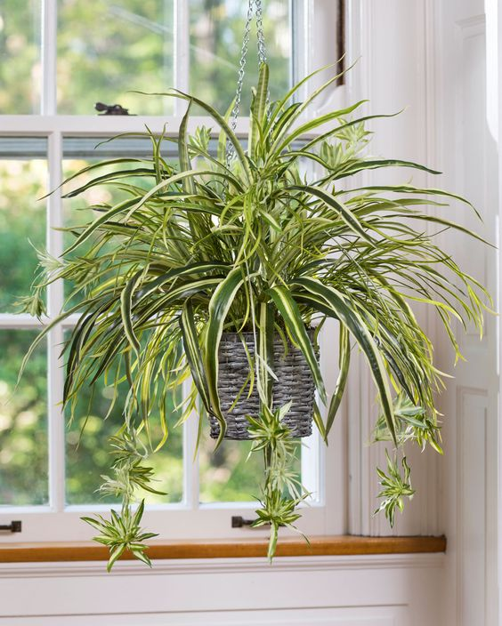 Nombre común: Mala Madre Nombre científico: Chlorophytum comosum Altura: 25 cm Exp. solar: Semismobra, sombra, luz Nec. hídrica: Baja