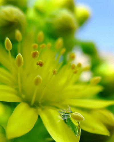 Chartreusse...