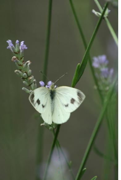 Schönheit des Sommers.   Thron des weißen Schmetterlings   ist der Lavendel.