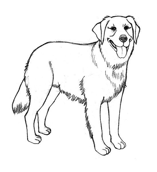 Golden Retriever Coloring Pages Golden Retriever Drawing Dog
