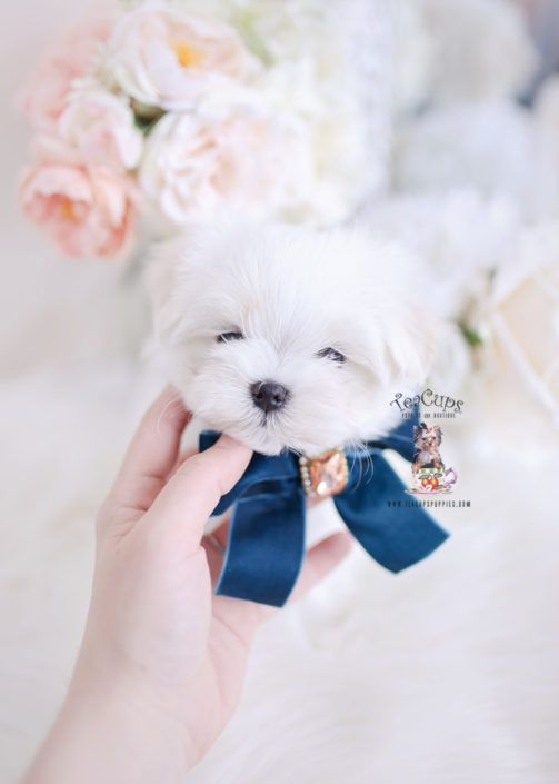 Maltese Puppies For Sale Teacup Puppies 214 A In 2020 Teacup Puppies Maltese Puppy Shitzu Puppies