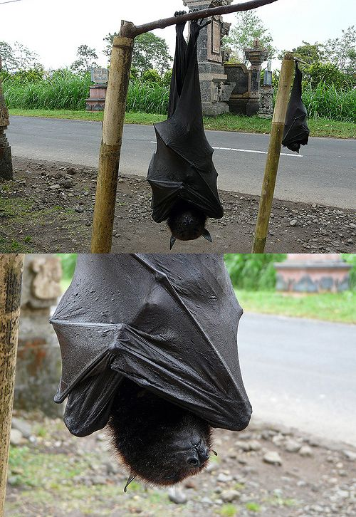 Flying Fox Bat Next To Human