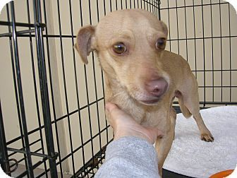 NEVADA ~ meet Hank a #Dachshund mix available for adoption in #LasVegas. Hank is neutered, vaccinated, microchipped and comes with a free vet visit. Hank needs a home without children. Hank will be available for adoption on Saturday from 11:00am-3:00pm at Petco located on 3890 Blue Diamond Rd just off of I-15 South. Please contact Renee of #Adopt a Rescue Pet at aprenee@gmail.com if you are interested in Hank.