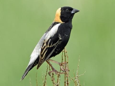 Bobolink Birds Voice Bird Life List Birds