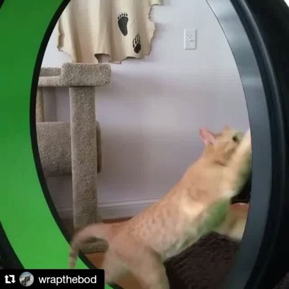 The things we do for our pets! I bought this awesome exercise wheel in hopes my fat cats would use...nope they don't! But the kitten loves it! #crazycatlady #pets #onefastcat #happypets #funny #kitten