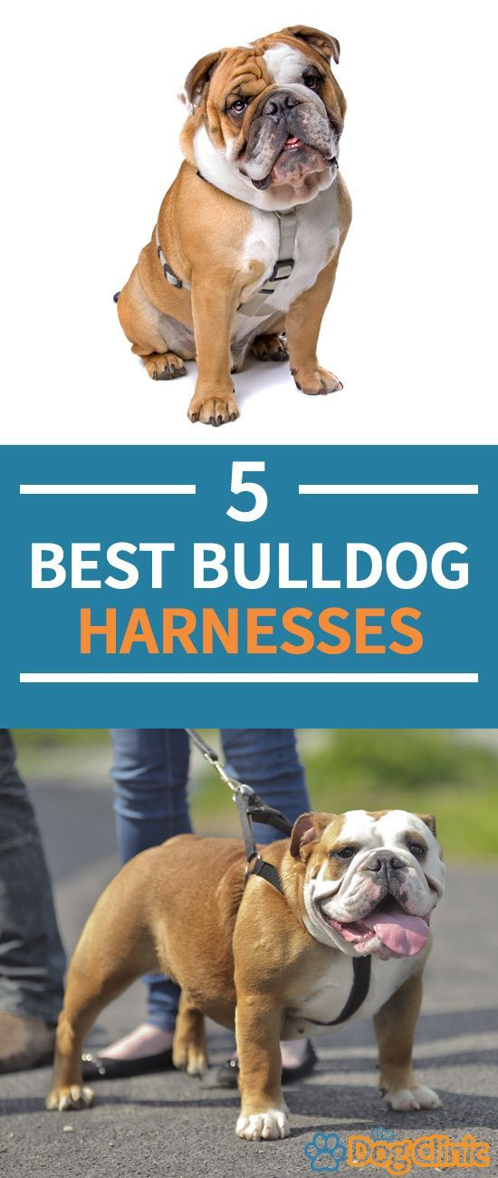 Best Harness For English Bulldogs Our 5 Top Picks For 2020