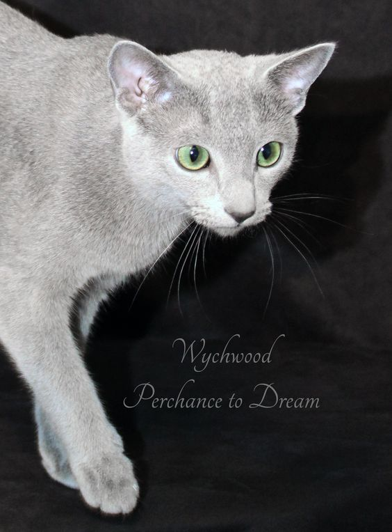 Wychwood Russian Blue Cats' little home-bred boy is growing up fast. Dreamy is the sweetest, most cuddly baby anyone could dream of <3