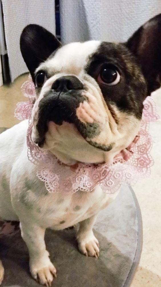 @projetdiy#4 my french bulldog in dentelle