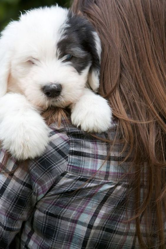 TOP 10 Best Dog Breeds For A Family With Kids - Old English Sheepdog