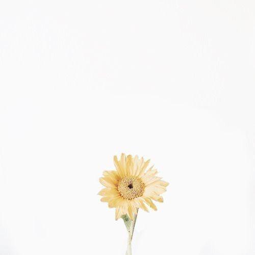 Download Sunflower Wallpaper Minimalist Sunflower Wallpaper Flowers White Aesthetic