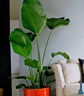 Indoor plants are great for decorating stelitzia nicolai giant bird of paradise as seen in - Great indoor houseplants ...