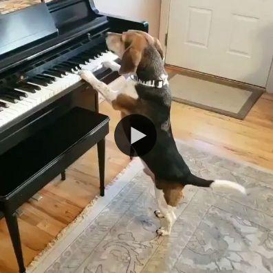 Toda vez, que esse cachorro toca piano ele lembra logo da ex.
