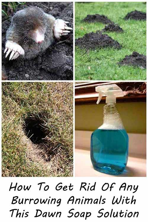 How To Get Rid Of Any Burrowing Animals With This Dawn Soap Solution Are You Having Problems With Ground In 2020 Mole Removal Yard Getting Rid Of Gophers Garden Grubs