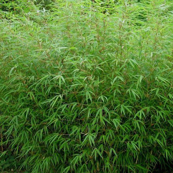 Fargesia rufa - Bambou NON-TRAÇANT