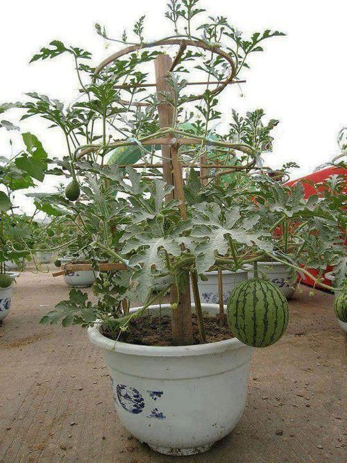 Growing Watermelon In A Pot I Am Loving This Looks Like