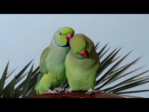 How Ringneck Green Parrot Impress Female Before Mating Parrot Green Parrot Bird Parrot Bird