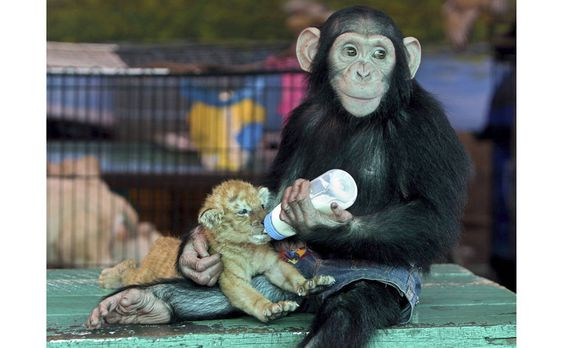 Chimpanzé dá mamadeira para um tigre de 28 dias em um zoológico tailandês, em Sam