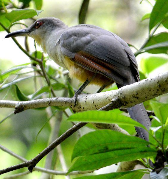 Hispaniolan lizard cuckoo (Coccyzus longirostris), endemic Hispaniolan species photographed along the Rabo de Gato.