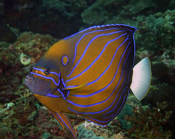 Saltwater fish pictures google search aquariums fish for Blue saltwater fish