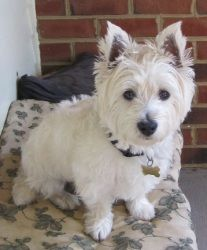 West Highland White Terrier Westie Dog- soooooooo cute!