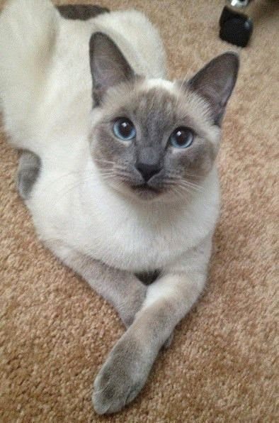 Pretty kitty ~ affectionate cat breeds More