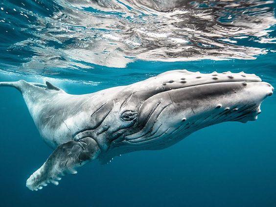 """Bébé baleine ne jeune baleine à bosse dans les eaux de Tonga. """"Le sourire de ce baleineau fait presque trois fois ma taille,"""" écrit Iliya. """"J'ai réussi a obtenir son attention au point qu'il s'approche à moins de 30 centimètres de mon visage."""" © Karim Iliya"""