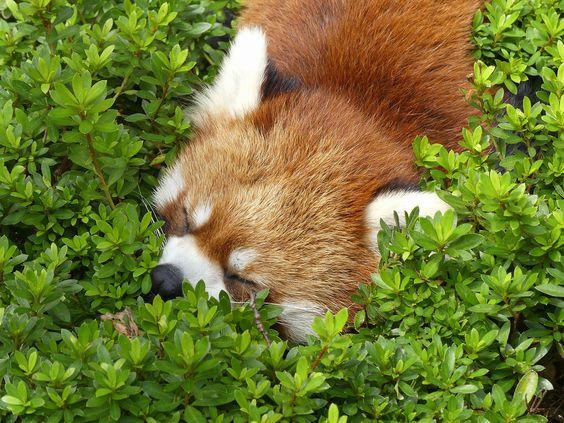 レッサーパンダ草の上でぐっすりお昼寝姿