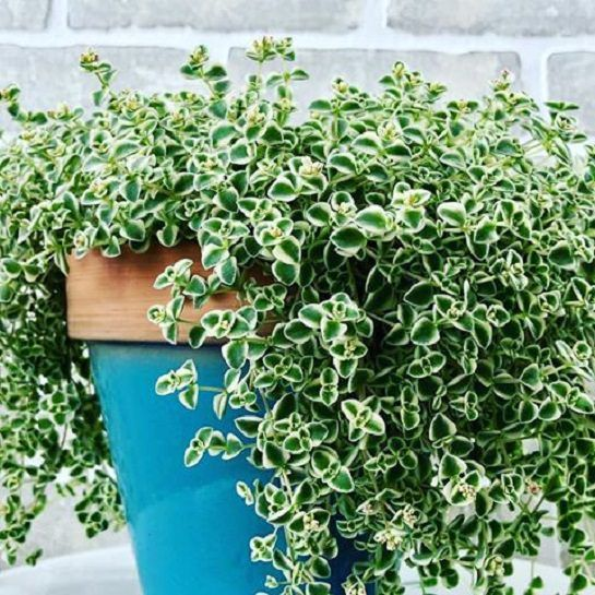 Houseplant Identification And Care Succulents Houseplant411 Com Houseplant 411 How To Identify And Care For H Hanging Plants Planting Succulents Plants