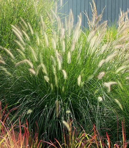 Dwarf fountain grass produces its plumes during the fall for Hardy fountain grass
