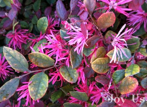 Image Result For Loropetalum Razzleberry With Images Fragrant