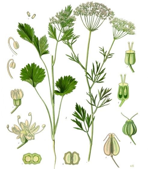 Mustard Seed Plant Drawing