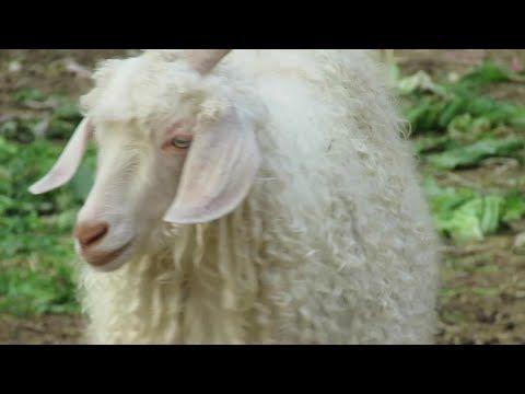 ماعز طويل الشعر جميل جدا و نادر Youtube Animals Lamb