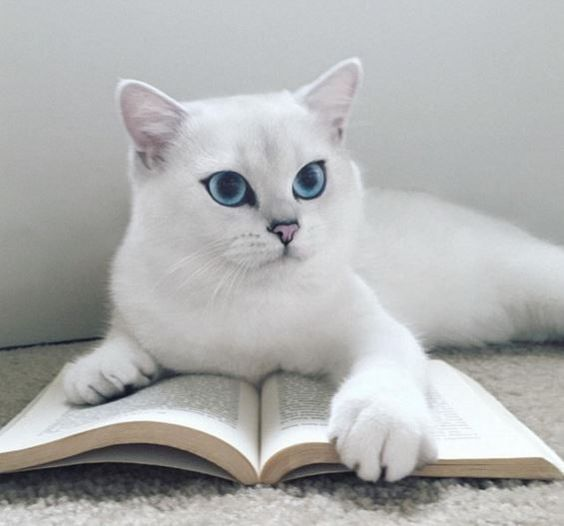 Chat Somalien British Shorthair Cats Cat With Blue Eyes
