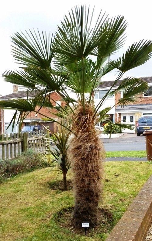 5 Winterharte Palmen Fur Nachhaltiges Gartengrun Winterharte Palmen Palmen Garten Palmen Pflanzen
