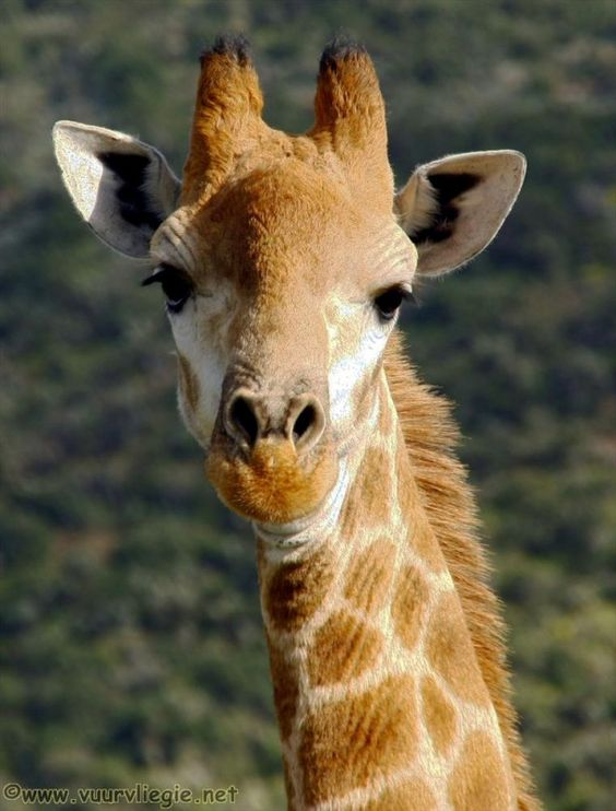 Some Facts About Giraffes:  Its tongue is 18 inches long.  Typically get most of their water from the Acacia leaf, but will drink up to 10 gallons of water per day.  The horns or knobs on the giraffes head are called Ossicones  Their heart is 610mm long and weighs about 12 kilograms  Their heart beats up to 170 times/minute