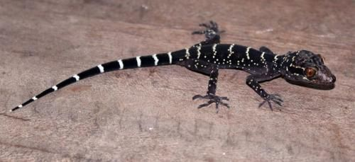 Reptile Database surpasses 10,000 reptile species// The 10,000th species recorded into the database is Cyrtodactylus vilaphongi, a tiny gecko found in the jungle of Laos in Southeast Asia, which was discovered by a team of German, Vietnamese and Lao scientists.  More than 10,000 reptile species have been recorded into the Reptile Database, a web-based catalogue of all living reptile species and classification, making the reptile species among the most diverse vertebrate groups in the world