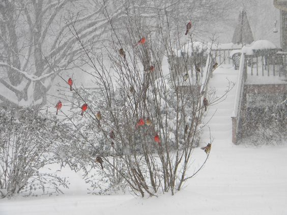 Cardinals in the snow, Dec, 2009.