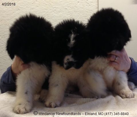 Three Male Akc Registered Newfoundland Dog Black White Landseer Puppies Available For Sale To Approved Homes C Newfoundland Puppies Newfoundland Dog Puppies